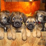 Puppies - websites for dog breeder