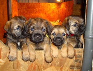 Puppies - website for dog breeder